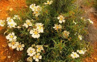 Rutas: El jaral florece bajo el pico Ocejón