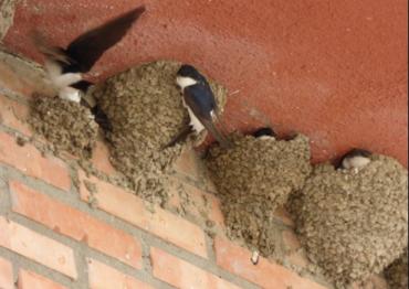 Resultado de imagen de La descomunal multa de hasta 200.000 euros que puede caerte por destruir nidos de golondrinas
