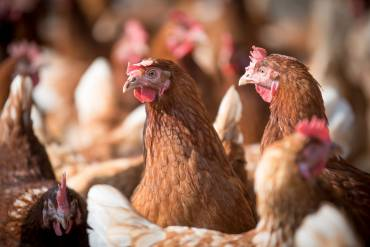 laying-hens-4133954 1920