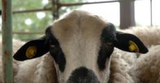Lo mejor del ganado serrano en Hiendelaencina